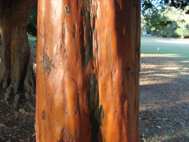 Pau mulato (Calycophyllum spruceanum). Planta nativa da amazônia.