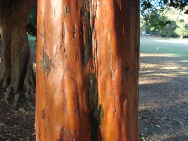 93baab128 Pau mulato (Calycophyllum spruceanum). Planta nativa da amazônia.