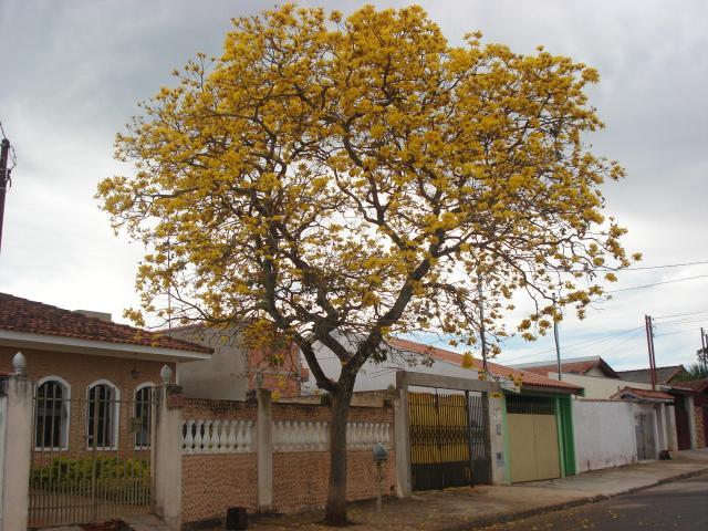 ipê amarelo_arborização urbana