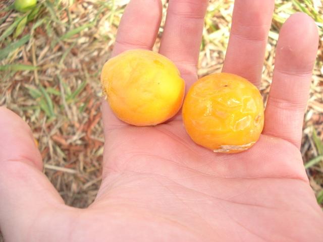 fruto uvaia Eugenia pyriformis