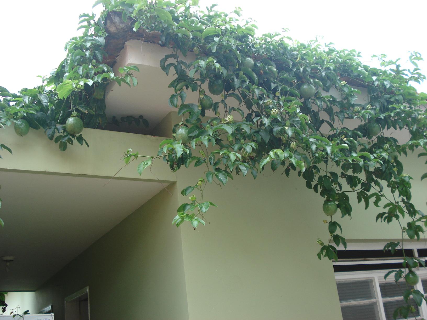 O maracujá-azedo pode ser utilizado como trepadeira ornamental, ele apresenta uma folha bonita e uma belíssima flor perfumada, além de tudo isso produz frutos comestíveis.