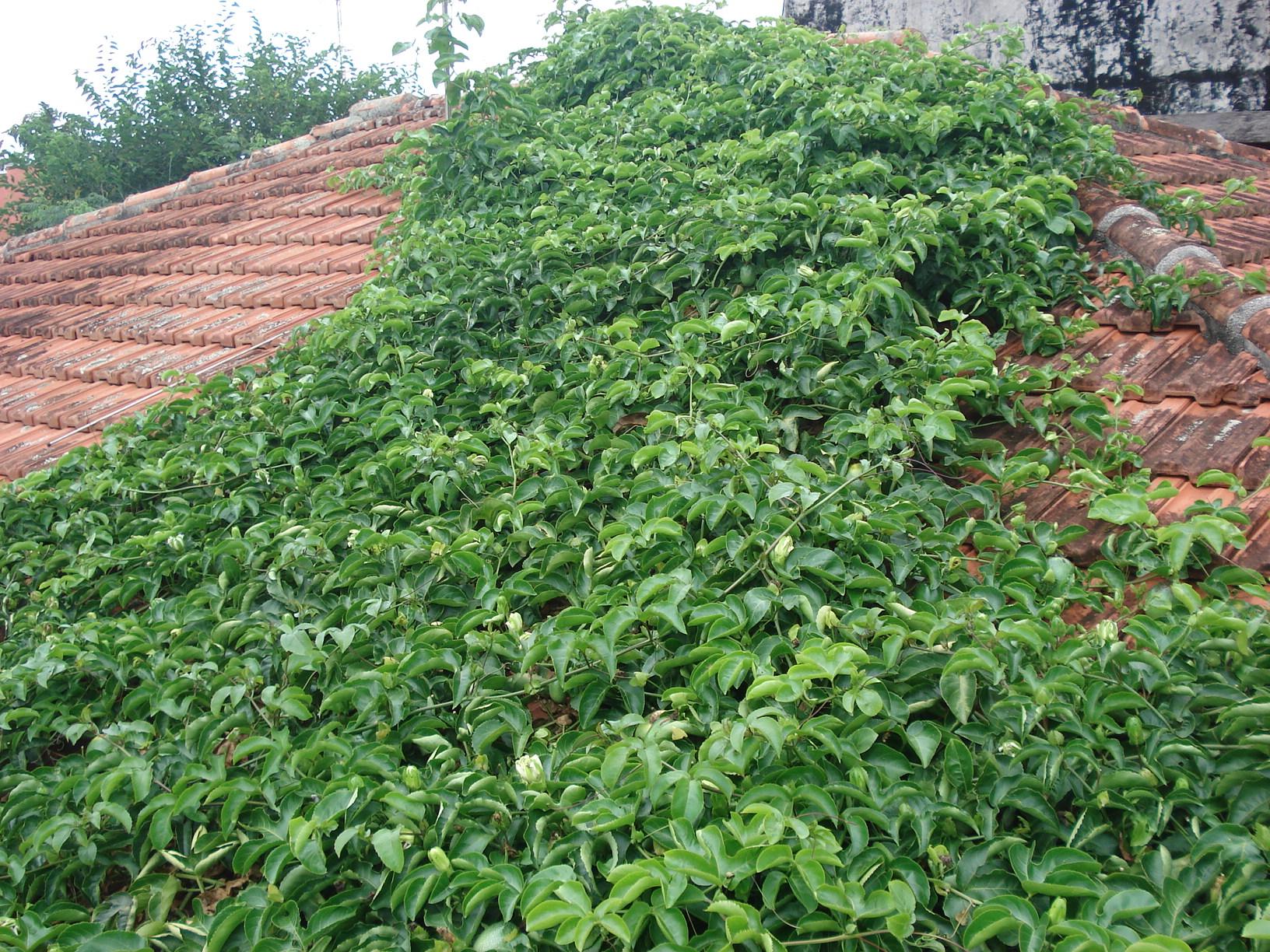 Maracujá formando o telhado verde.