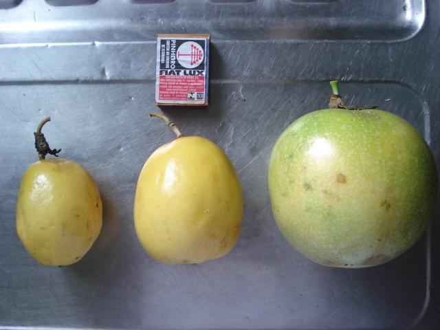 Fruto pequeno, médio e grande.