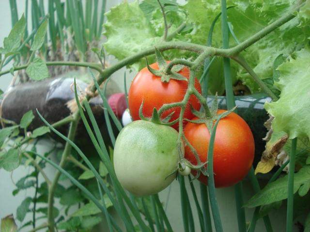 Produção de tomates em hortas verticais.