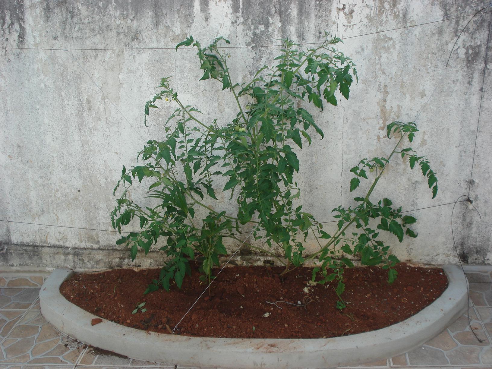 Extremamente O tomate está caro? Então plante em casa! | Plantando Vida FK65