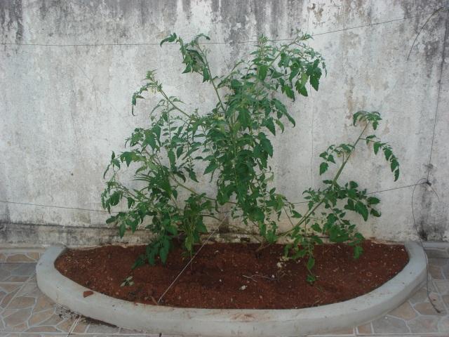 Plantio de tomate no quintal.