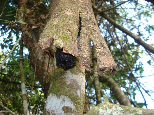 Isca camuflada para capturar abelha jataí,  instalada na árvore.
