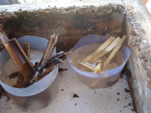 Alimentação energética fornecida à mandaçaias.
