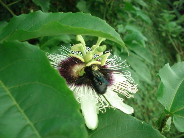 Abelha mamangava realizando a polinização na flor do maracujazeiro.