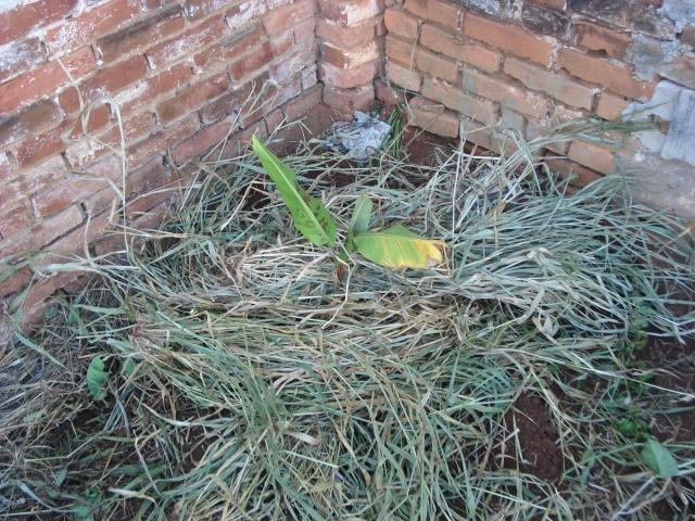 Bananeira plantada. Nota-se que utilizei uma palhada para coroar a bananeira, dessa forma o solo fica protegido da chuva e sol, mais úmido e serve de alimento para a biota do solo.
