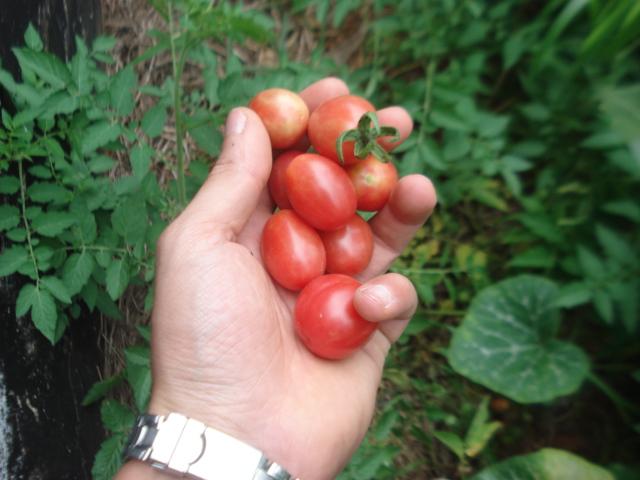 Tomatinhos colhidos! Vale ressaltar que a produção foi muito boa.