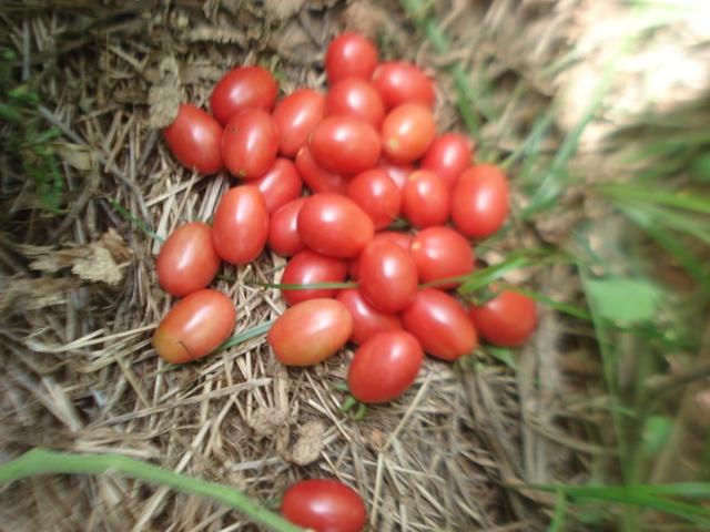 Mais tomates vão sendo colhidos, a produção não pára.