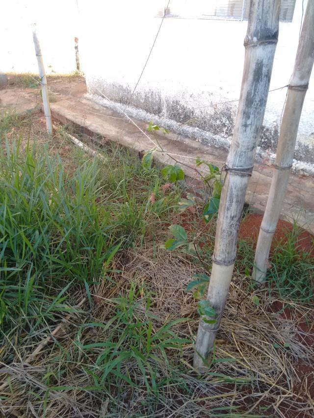 Maracujá recém plantado já começa a trepar no bambu.