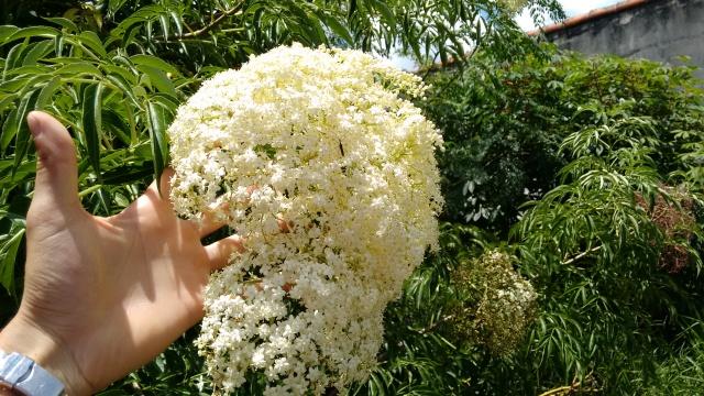 Tem muita flor para a bicharada. O sabugueiro produz muitas flores que atraí insetos e pequenas aves. Ele produz muita biomassa que pode ser usada para adubação verde. É uma ótima planta para os sistemas agroflorestais.