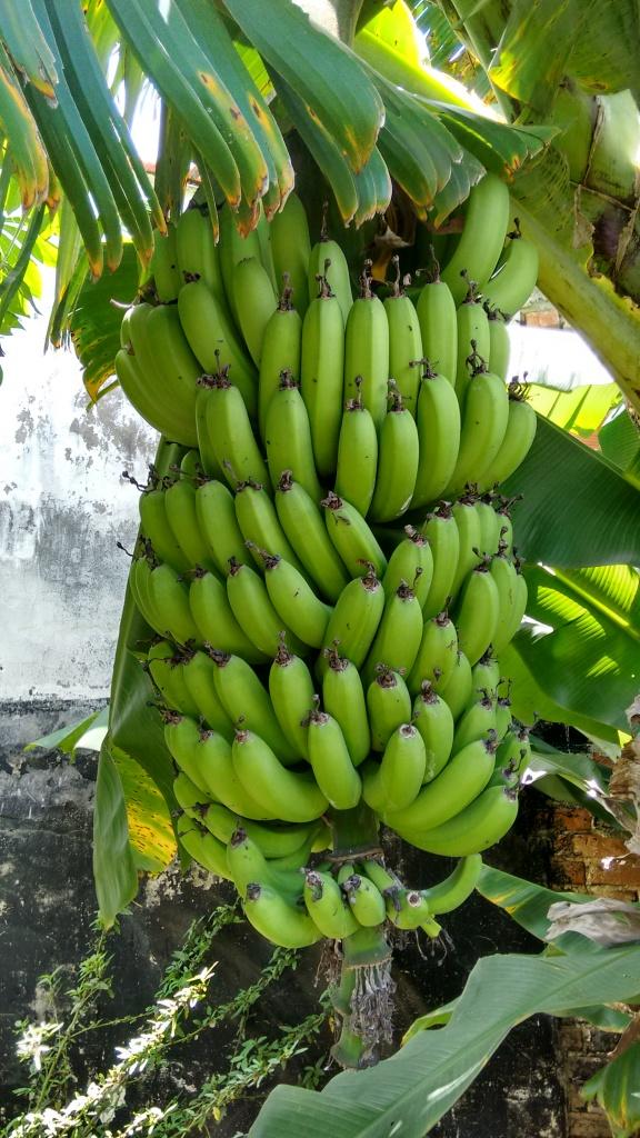 Banana-nanica, a melhor que já comi. Manejo totalmente orgânico.