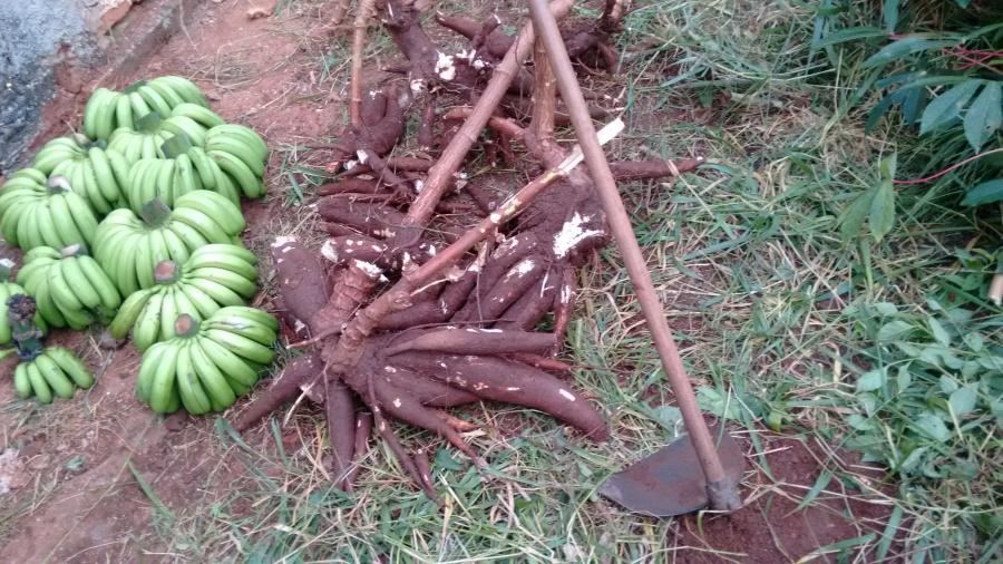 colheita da bananeira e mandioca