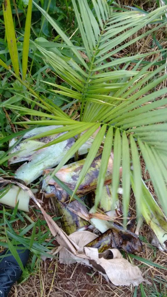Plantio de juçara. Coloquei pedaços do pseudo caule da bananeira ao redor da muda. A ideia é proteger o solo, nutrir a muda e diminuir o crescimento do mato.