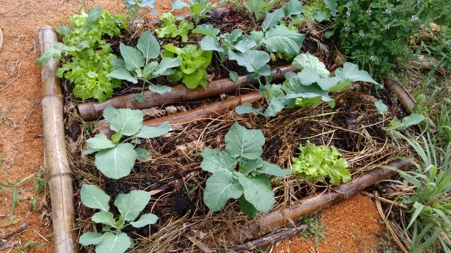 Canteiro agroecológico com diversidade de hortaliças.
