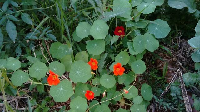 Capuxinha, considera uma planta alimentícia não convencional (PANC) é uma delícia, come-se as folhas, flores e da semente pode fazer conserva.