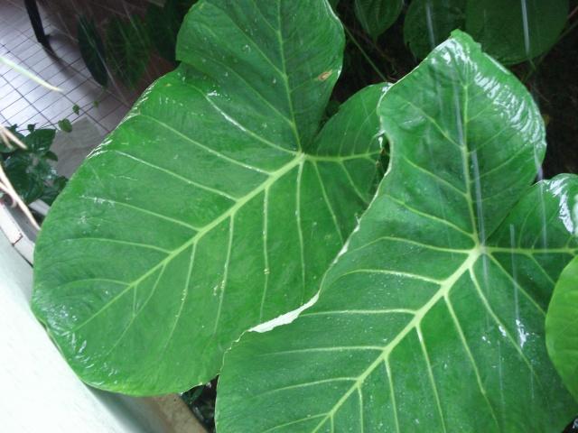 PANC, taioba (Xanthosoma taioba)