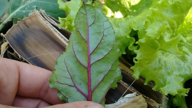 PANC, folha da beterraba é comestível.