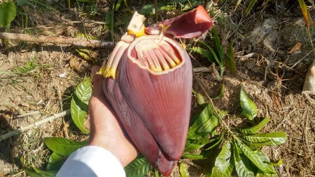 PANC, coração bananeira