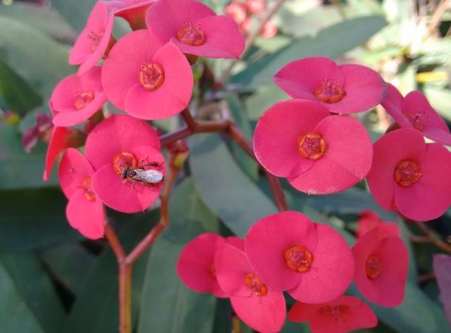 coroa-de-cristo (Euphorbia milii)