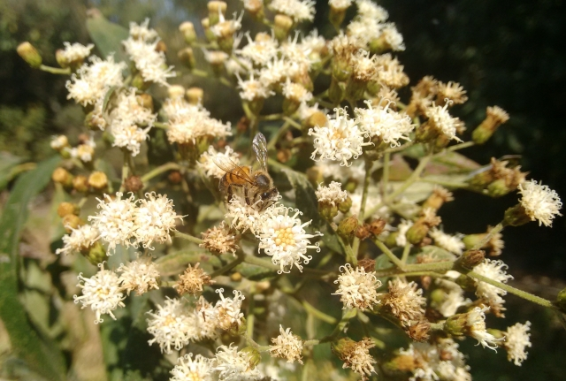 assa-peixe (Vernonia sp)