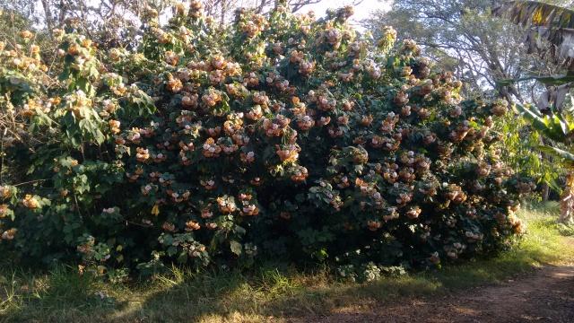 astrapéia (Dombeya burgessiae)