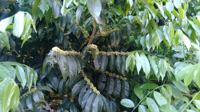 guaçatonga (Casearia sylvestris)