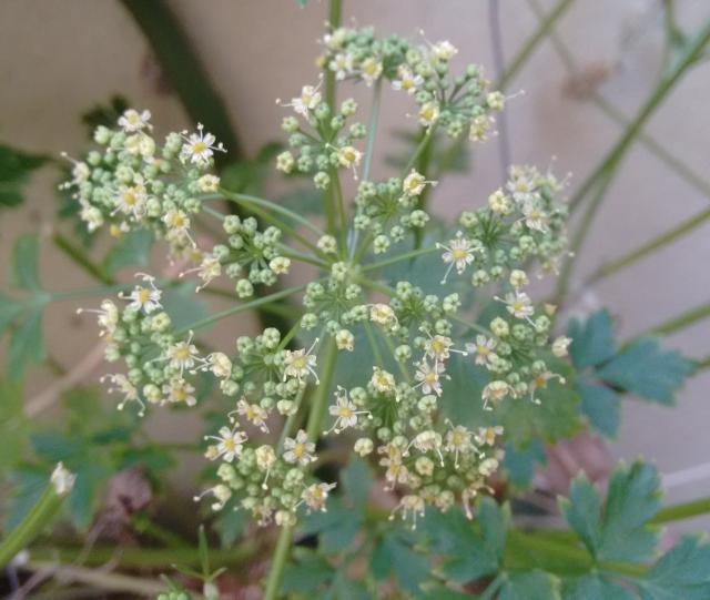 flor da salsinha