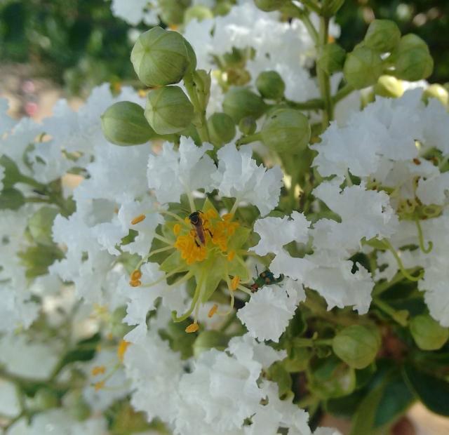 Abelha jataí visitando as flores do resedá