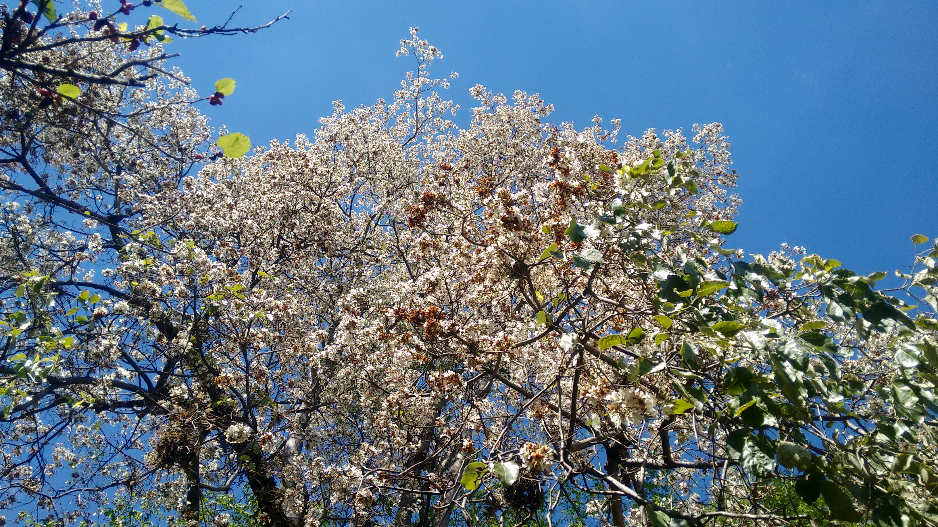 louro-pardo (Cordia glabrata)