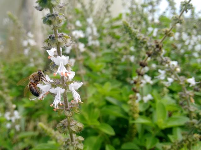 Abelha Apis mellifera visitando as flores do manjericão.
