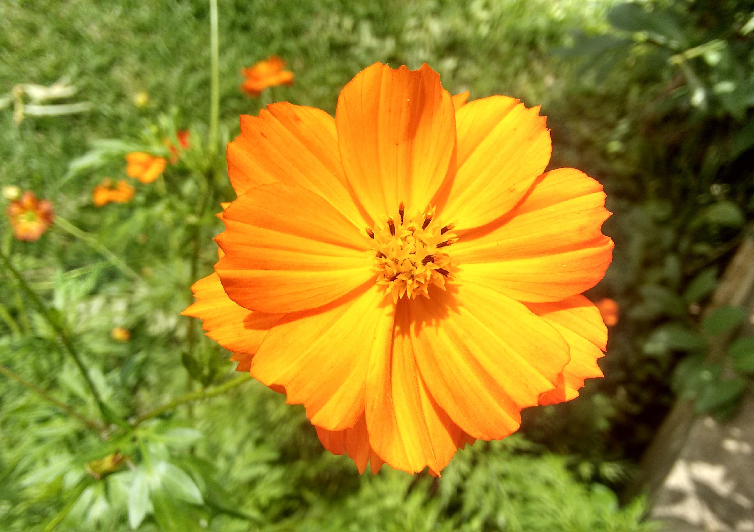 cosmo (Bidens sulphurea)