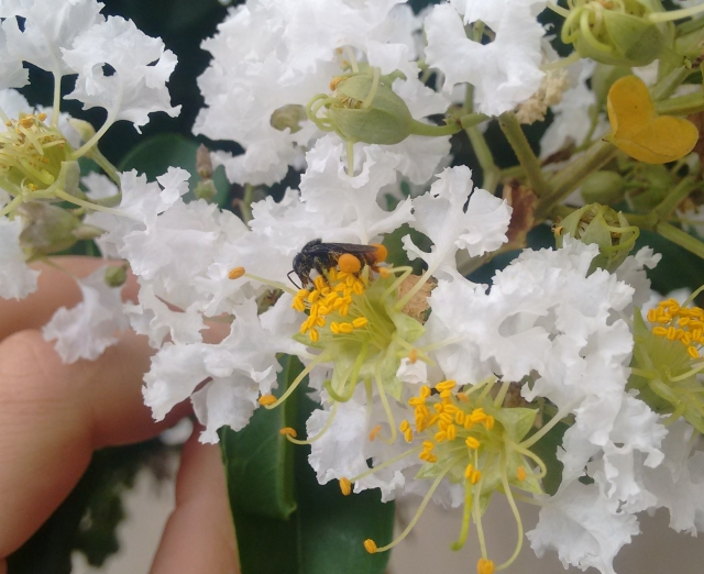 Abelha nativa sem ferrão visitando as flores do resedá