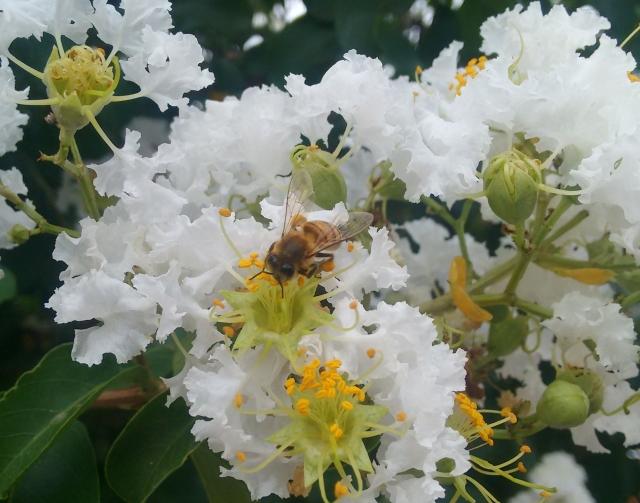 Abelha Apis mellifera visitando as flores do resedá.